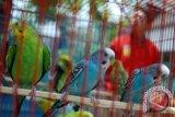 Pemilik burung berkicau di Yogyakarta didata