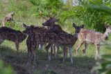 Rusa Bukit Langkisau penambah daya tarik pariwisata Pesisir Selatan