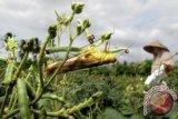 Belalang memangsa pucuk dan putik bunga tanaman kacang hijau milik petani di Desa Miruk, Kec. Krueng Barona Jaya, Kab. Aceh Besar, Kamis (10/7). Hama belalang dan walang sangit yang menyerang tanaman kacang hijau mengakibatkan hasil produksi menurun di bandingkan masa tanam sebelumnya. ANTARA FOTO/Irwansyah Putra/Koz/ama/14.