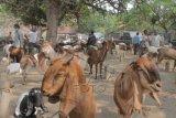 Di OKU warga minati peternakan kambing