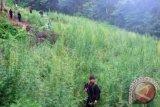 10 Hektare Ladang Ganja di Madina, Pemilik Sempat Lari ke Hutan