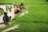 Ubah rawa jadi lahan pertanian untuk menuju lumbung pangan dunia