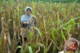 Program kemitraan Indonesia-Australia dongkrak pendapatan petani di Madura