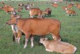 Distrik Nimbokrang Jayapura miliki potensi peternakan sapi potong