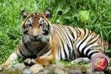 Pekerja asal Aceh tewas diterkam harimau di konsesi PT RIA di Inhil