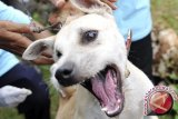 20 Orang Digigit Anjing Rabies