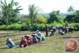 Padi petani Lombok Utara diserang ulat