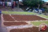 Petani Lampung Selatan nikmati budi daya cengkih