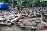 Prospek bebek potong di Lampung Timur menggiurkan