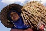 Petani Musi Rawas panen raya padi organik
