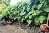 Palangka Raya Kembangkan Pertanian Bioindustri Kemiri Sunan