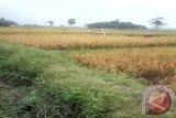 Lima kecamatan di Ogan Komering Ulu  alami kekeringan