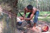 Harga getah karet di Lampung turun
