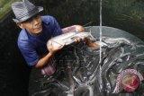Salut! 5 Mahasiswa Ini Ciptakan Alat Perangsang Pertumbuhan Ikan Lele dari Medan Listrik