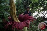 Bunga bangkai setinggi 2,5 meter mekar di Kebun Raya Cibodas