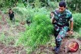 Tentara Temukan Ladang Ganja Di Distrik Waris