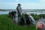 Varietas padi inpari mampu berproduksi 11 ton/ha