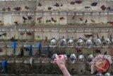 Dinkes Palembang bagikan 10.000 ekor ikan tempalo cegah DBD