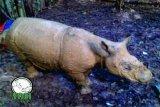 Kabar Gembira Penyelamatan Badak Sumatera