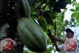 Revitalisasi tanaman kakao petani di Kolaka Utara