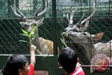 Sejumlah anak saat memberi makan rusa di penangkaran rusa, Cifor, Dramaga, Kota Bogor, Jawa Barat. Penangkaran rusa tersebut selain sebagai objek penelitian Institut Pertanian Bogor (IPB), juga dimanfaatkan oleh warga sebagai tempat untuk wisata edukasi. (ANTARAFOTO/Yulius Satria Wijaya).