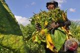 Petani Tembakau Cemaskan Wacana Kenaikan Harga Rokok