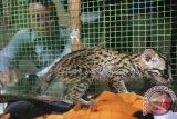 Kehadiran kucing hutan resahkan peternak ayam