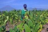 APTI Desak Pabrik Rokok  Serap Panen Tembakau Petani