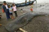 Hiu Tutul Berat 1 Ton Terdampar di Pantai Menganti