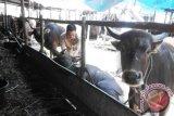 Pemkab Gumas Gelontorkan Rp300 Juta Untuk Beli Hewan Kurban