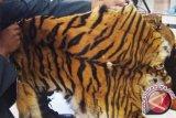 Mantap! Kementerian LHK Sita Kulit Harimau Sumatra