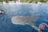 Seirama dengan hiu paus di Botubarani