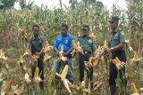 Kodim Kaimana bantu petani panen jagung dan kedelai
