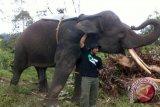 Mengatasi Konflik Gajah dan Manusia Di TNWK