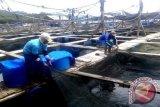 Pesisir laut Lampung Timur mengandung potensi ikan kerapu melimpah