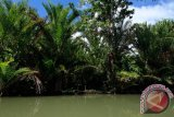 Pohon sagu tidak berbuah di Aceh setelah Tsunami