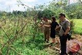 DLH Tomohon: Kerusakan Tanaman Petani Pangolombian Diteliti