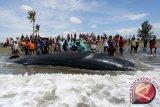 Saat ikan paus terdampar