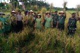 Danrem 172/PWY panen padi bersama warga Bonggo Sarmi