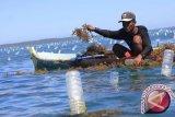 Pemerintah bantu benih & tali untuk petani rumput laut di NTT