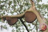 LLH jejak Indonesia budidayakan madu sialang
