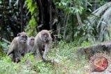 Puluhan monyet muncul di Jalinsum jadi objek wisata baru