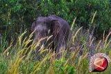 Kerusakan habitat gajah sumatera penyebab lonjakan konflik dengan manusia