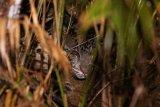 BKSDA selidiki insiden serangan macan yang menewaskan petani kopi di Lahat