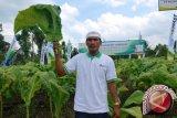 BEI Produksi Benih Tembakau Virginia di Lombok