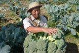 Brokoli bisa halau kanker prostat