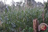 Bulog Sultra Mulai Serap Jagung Petani