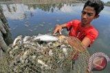 Petani memperlihatkan ikan tambak miliknya yang mati mendadak di Desa Bangka Jaya, Kecamatan Dewantara, Aceh Utara, Aceh, Jumat (31/3). Ribuan ikan dan udang di areal tambak seluas 43 haktar itu mati mendadak sejak Rabu (29/3), diduga karena air tercemar limbah dari salah satu pabrik yang beroperasi di kawasan itu. (ANTARA FOTO/Rahmad)