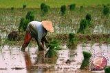 Areal tanaman padi di NTT meningkat 6.000 hektare