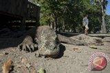 Diduga Ada Pembantaian Rusa di Pulau Komodo, BTNK Investigasi